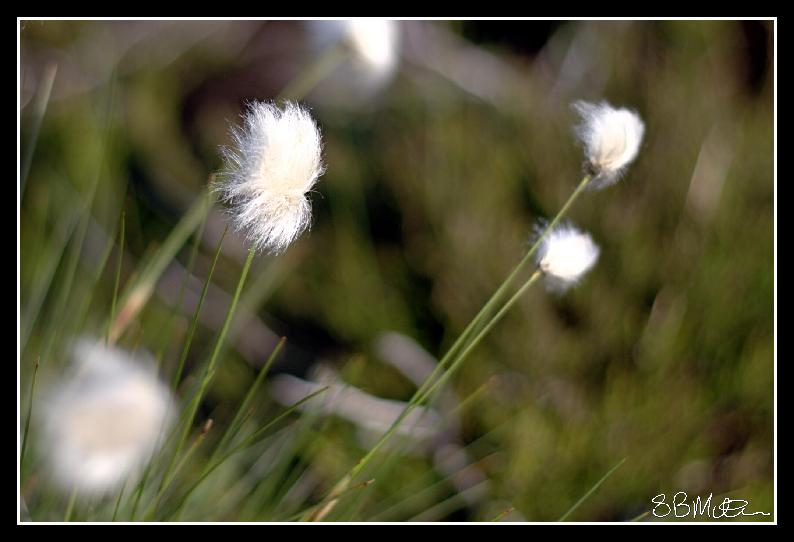Cotton Grass: Photograph by Steve Milner